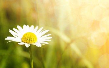 цветок, лепестки, ромашка, размытость