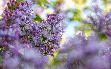 цветы, цветение, ветки, размытость, весна, сирень