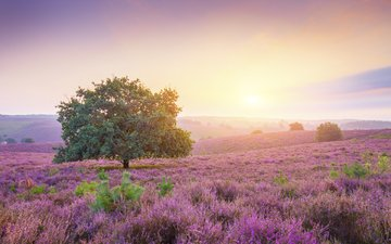nature, tree, landscape, field, heather