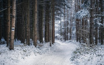 trees, snow, nature, forest, winter, path