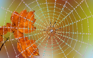 leaves, macro, drops, autumn, spider, web