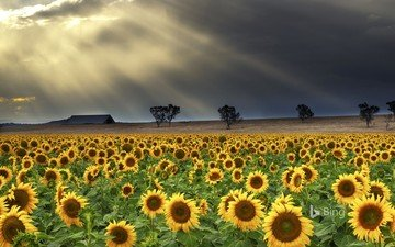 trees, nature, clouds, rays, field, sunflowers
