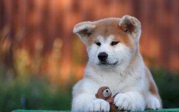 dog, toy, puppy, akita inu, akita