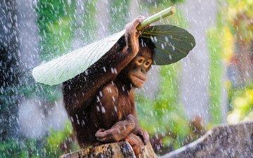 капли, лист, дождь, обезьяна, шимпанзе