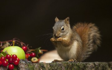 fruit, protein, tail, squirrel, rodent