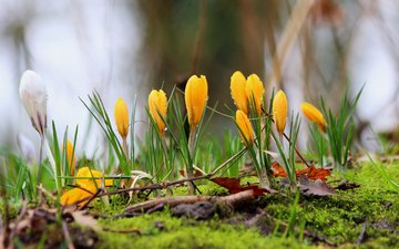 flowers, spring, moss, crocuses