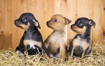 puppies, dogs, chihuahua, toy terrier