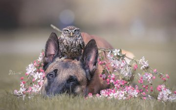 owl, flowering, dog, bird, spring, malinois, brandt, .belgian shepherd