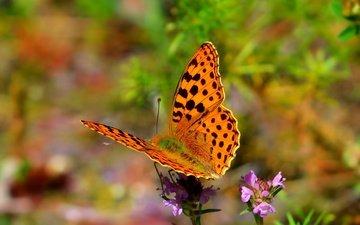 цветы, природа, насекомое, бабочка, крылья