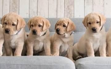 puppies, sofa, dogs, labradors, retrievers
