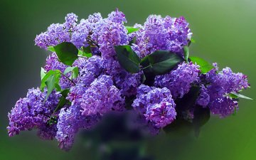 flowers, bouquet, lilac