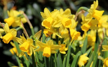 flowers, spring, daffodils, yellow