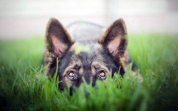 face, grass, dog, german shepherd, shepherd