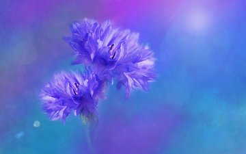 flowers, background, blur, cornflowers