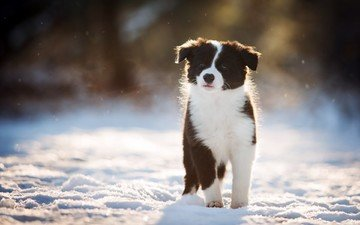 snow, winter, look, dog, puppy, the border collie