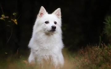 dog, the white swiss shepherd dog