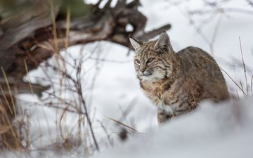 winter, lynx, predator, big cat