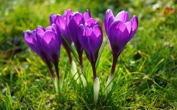 цветы, трава, поле, луг, весна, фиолетовые, крокусы