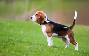 grass, dog, puppy, beagle