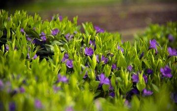 цветы, трава, лепестки, луг, весна