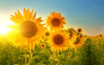 the sky, the sun, rays, petals, sunflowers, yellow flowers