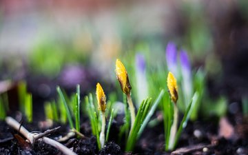flowers, drops, spring, crocuses