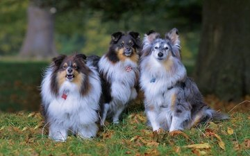 leaves, look, autumn, dogs, faces, sheltie, shetland sheepdog