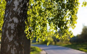 road, tree, leaves, branches, spring, birch