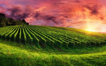 the sky, grass, clouds, trees, nature, sunset, field, vineyard, plantation