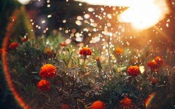 свет, цветы, солнце, блики, бархатцы