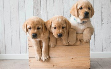 puppies, dogs, box, trio, golden retriever, trinity
