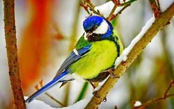 ветка, снег, птица, клюв, перья, синица