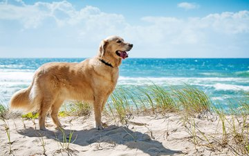 the sky, grass, clouds, the sun, sea, sand, beach, muzzle, look, dog, language, golden retriever