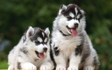 look, husky, puppies, language, dogs, faces, siberian husky