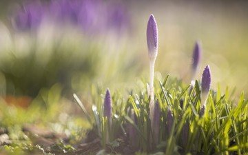 flowers, grass, plants, macro, spring, crocuses, sunlight