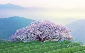 mountains, flowering, landscape, japan, spring, sakura, kyushu, kumamoto, the island of kyushu, kumamoto prefecture