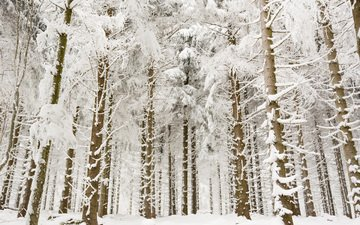 trees, snow, forest, winter, branches, trunks