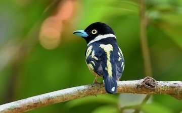 bird, beak, feathers, bird on a branch, broadbill, rageclaw