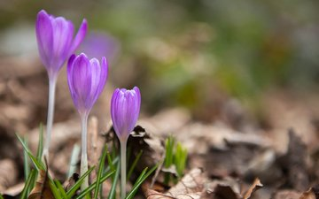 flowers, spring, crocuses, dry leaves