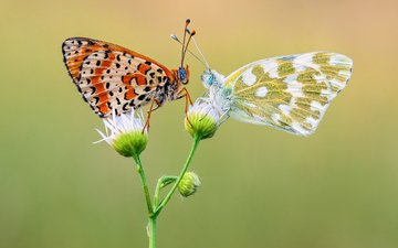 flowers, wings, insects, butterfly