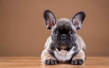 muzzle, look, dog, puppy, bulldog, french bulldog