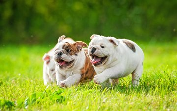 puppies, dogs, the bulldogs, english bulldog