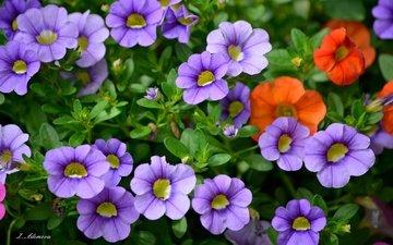 цветы, бутоны, листья, лепестки, петуния