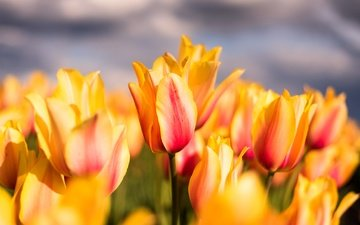 цветы, бутоны, макро, лепестки, весна, тюльпаны
