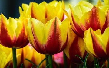 цветы, бутоны, макро, тюльпаны