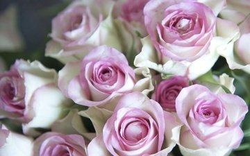 цветы, бутоны, розы, лепестки, букет, нежность