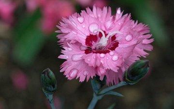 flowering, flower, drops, petals, carnation