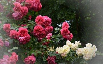 цветы, цветение, листья, розы, лепестки, куст