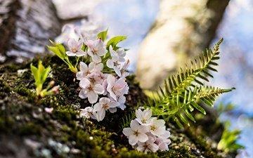 flowering, macro, spring, cherry, fern, flowers