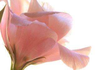flower, petals, white background, eustoma